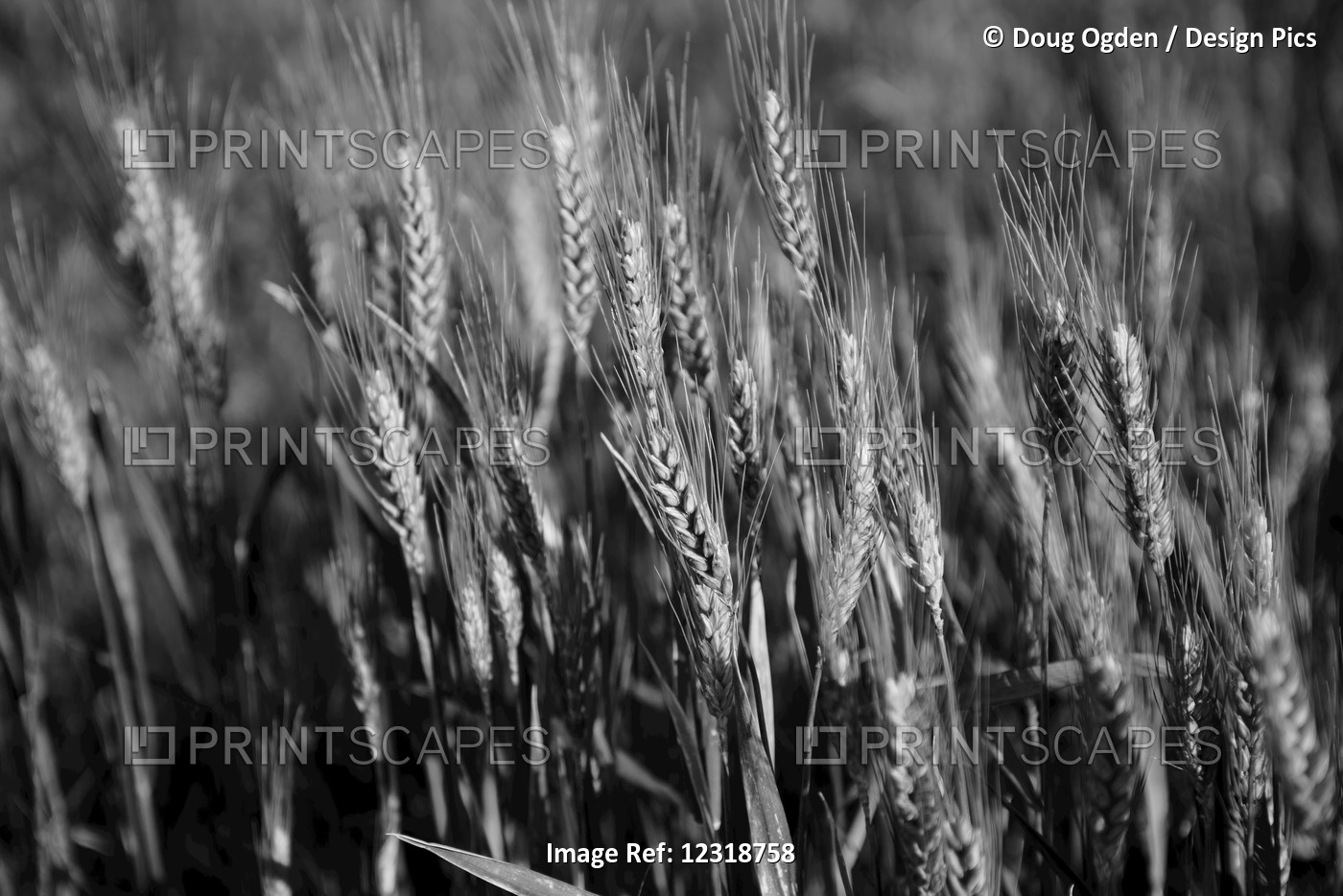 Black And White Image Of Barley Grain In The Rolling Fields In Palouse County ...