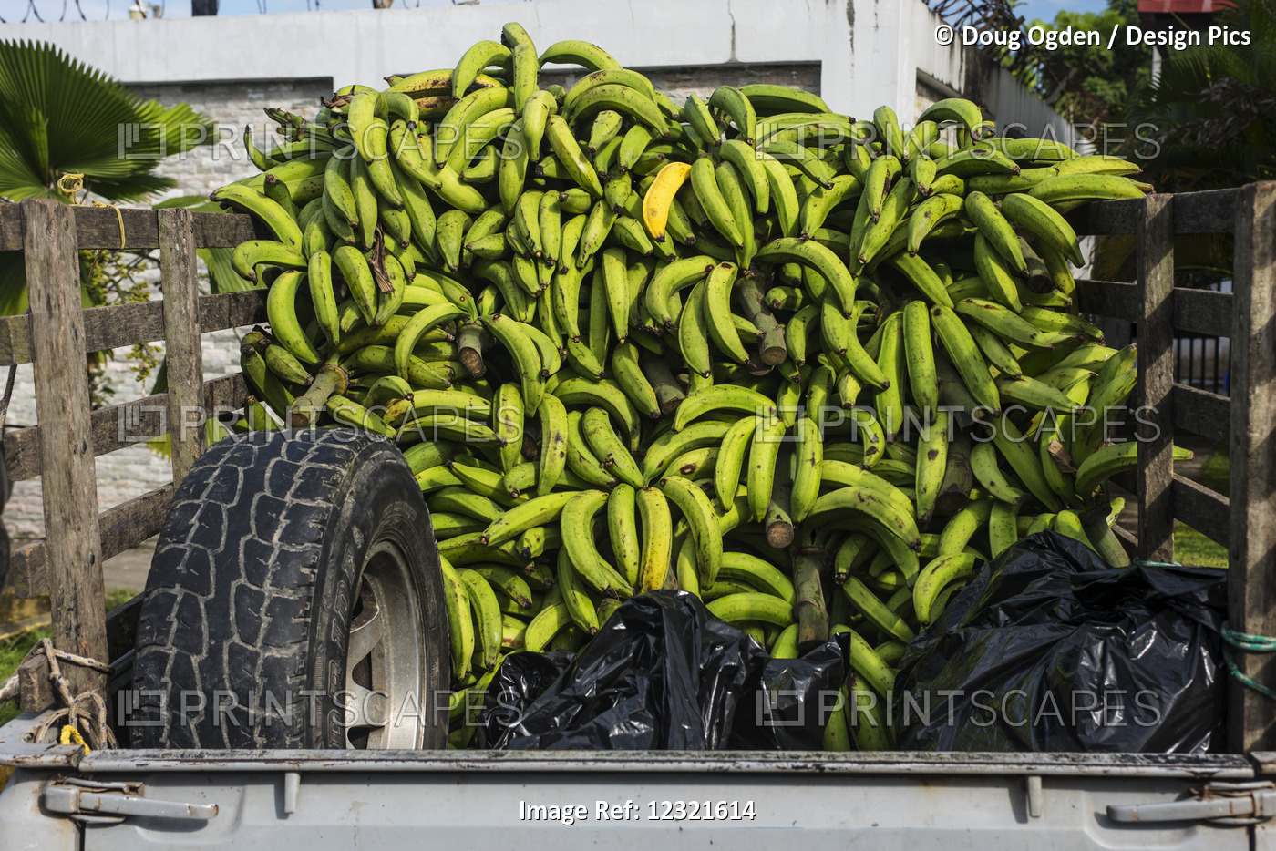 A Load Of Green Bananas And One Yellow One On The Way To Market, The Bananas ...